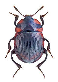 Necrophilus subterraneus   Silphidae