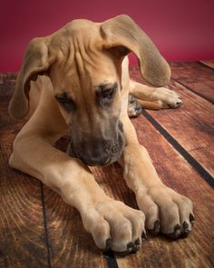Working with pets in studio can be tough! Let us walk you through one studio photo shoot with a big Great Dane puppy! | Savage Universal Blog