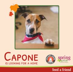 Capone is a very peaceful older boy at Chicago Canine Rescue who is looking for a home to call his own. He loves people and sits patiently for treats!