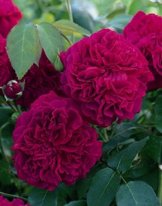 Buy rose William Shakespeare (shrub) Rosa 'William Shakespeare 2000 = 'Ausromeo' (PBR)': Delivery by Crocus.co.uk