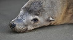 From sea lions to penguin chicks, adorable animals are dying in droves | Grist