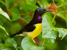 Purple-rumped Sunbird (Leptocoma zeylonica) by CLpramod