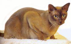 Chocolate Burmese cat. http://sussle.org/t/Cat