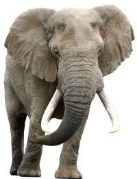 activity village: lots of elephant crafts and worksheets Elephant Gif, Elephant Crafts, Elephant Theme, Asian Elephant, Elephant Videos, Elephant Print, Zoo Animals, Cute Animals, Elmer The Elephants