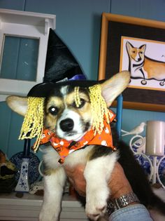 Oreo, littlest witch of the west. #corgi