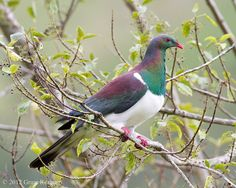 NZ Native Kereru - Inspiration for my next Millie Marotta - Animal Kingdom colouring project. Beautiful Birds, Animals Beautiful, Extinct Birds, Wood Pigeon, Cool Photos, Beautiful Pictures, Nautical Gifts, Sea Birds, Horse Pictures