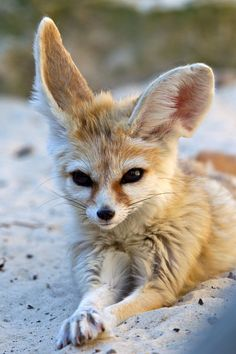 I have decided I want a desert fox so much more than any other dog or cat now!! Just look at those EARS!!!!