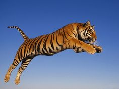 Jumping Tiger HD Wallpaper http://www.mobdecor.com/b2b/wallpaper/219040_jumping_tiger