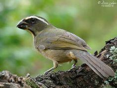 Bico-grosso (Saltator maxillosus)