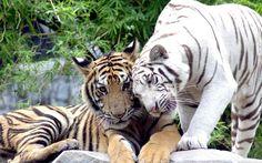 Golden Tiger Wallpaper Desktop Golden Tiger Pics