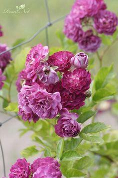 Rosa 'Blue Magenta' Grandes Roseraies du Val de Loire, France, 1933 hybrid multiflora, rambler