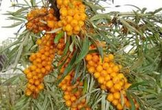 Sea buckthorn is a perennial shrub. It is hardy in zones 3 to The plant prefers light, sandy soil. Sea buckthorn will grow best in full sun, as it needs a lot of energy to produce a large crop of berries. It cannot tolerate shade at any stage of growth. Sea Berries, Berry Plants, Permaculture Design, Permaculture Garden, Forest Garden, Exotic Fruit, Edible Garden, Fruit Trees, Organic Gardening