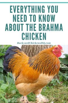 "The Brahma is a breed of chicken known for its immense size, even given the nickname the ""King of Chickens"" by many poultry farmers because of it. The bird itself has Asiatic roots, with many of its progenitors originating from Shanghai, where they were imported.  #backyardchickens #chickenbreeds #brahmachicken"