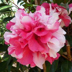 "Camellia reticulata ""Greentree's Joy"""