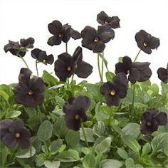 Interesting Black Flowers  http://perfectgardeningtips.com/2011/11/02/all-black-flowering-garden-plants/