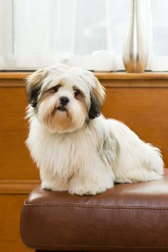I had a Lhasa Apso growing up. He looked just like this & his name was Toy because he was so playful I had& The post I had a Lhasa Apso growing up. He looked just like this & his name was Toy becau& appeared first on SH Dogs. I Love Dogs, Cute Dogs, Cute Puppies, Lhasa Apso Puppies, Beautiful Dogs, Beautiful People, Dogs And Puppies, Boxer Puppies, Doggies