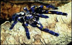 Gooty Tarantula, one of the rarest spiders in the world, from India