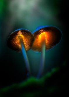 I chose this photograph of the glowing mushrooms as they are different to all the other glow in the dark images I have selected. Mushroom Lights, Mushroom Art, Mushroom Fungi, Glowing Mushrooms, Mushroom Pictures, Plant Fungus, Dark Forest, Environmental Art, Aesthetic Pictures