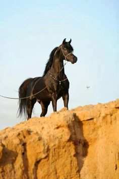 The Arabian Horse - A Gift from the Desert.