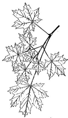 japanese maple tree coloring pages
