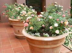 rosales en maceta