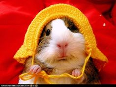 Guiena Pig has a new hat.