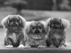 If it was socially acceptable to have more than 2 dogs, I would have handfuls of Pekingese puppies