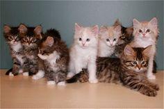 Kitten Album Litter J Siberian Kittens, Album, Cats, Kitchen, Animals, Gatos, Cooking, Animales, Animaux
