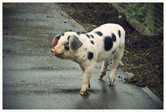 Pig dalmatian
