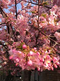 """桜 """"SAKURA"""""""