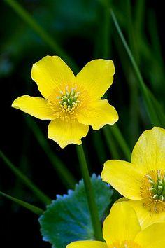 Marsh Marigold | Stuart Robertson Flickr