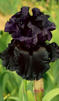 ~~Raven Girl Black Iris ~ this jet-black iris is the latest addition to a sixty-three year line of dark breeding, delightful bouncy ruffles grace the petals and each stem yields a magnificent 8-12 buds on three branches plus a spur | Schreiner's Iris Gardens~~