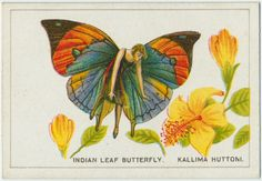 NY Public Library: Indian leaf butterfly.