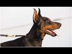 Watch our new video with stunning Doberman on the beach. This strong canine is wearing Silent Leather Choke Collar for Everyday Walking and Obedience Trainin. Doberman Pinscher, Dogs And Puppies, Dobermans, Training, Pets, Beach, Leather, Animals, Beautiful
