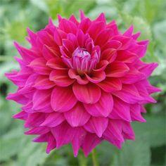 """Chloe Janae Dahlia (6"""" flower on 4' bush): dark fuchsia flowers."""