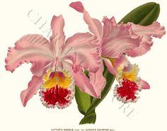 Cattleya mossiae Orchid Art Print 8x10 Print