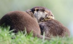 Asian Small Clawed Otters snoozing