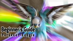 How to take Care of a Parakeet | Budgie [Beginner's Guide to Pet Birds]