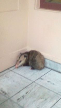 Opossum in a entry of a building in San Francisco , Ca.