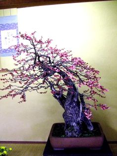 Bonsai Ume (Japanese apricot)