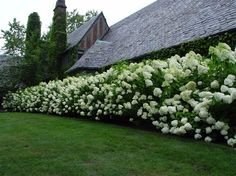 Limelight hedge hortensias for ever ! Hydrangea Landscaping, Privacy Landscaping, Front Yard Landscaping, Landscaping Ideas, Hydrangea Paniculata Phantom, Limelight Hydrangea, Privacy Plants, Privacy Hedge, Garden Cottage