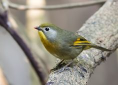 https://flic.kr/p/PAVLRN   Red-billed leiothrix   See in full size. tahirabbasonline@gmail.com You may follow me at     Facebook     500PX      iStock   Thanks for your kind visit