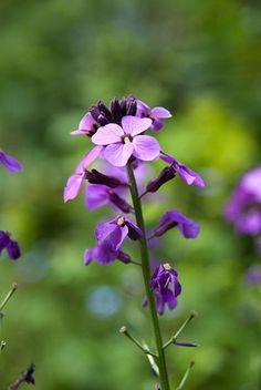 Erysimum 'Bowles Mauve' Fruit, Garden, Plants, Garten, Lawn And Garden, Flora, Gardening, Outdoor, Plant