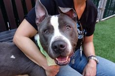 """REMUS - A1112377 - - Manhattan TO BE DESTROYED 05/30/17: ****CAN BE PUBLICLY ADOPTED**** A volunteer writes: """"He's a dream"""", said one volunteer. """"He's amazing"""", said another. But, don't take our word for it, come meet him and you'll agree. His whirlybird tail signals his happiness at making new friends, he snuggles in close for kisses, content to be hugged and cuddled, which was a good thing as we could have done that all day"""