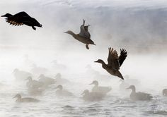 Ducks take off from a pond on a brisk day in Minsk, Belarus, on Feb. 1.