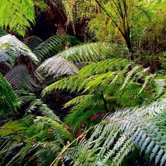 Lush #rainforest on the #hike to #maitsrest. #greatoceanroad #australia #aussie #hiking #forest #plants #ferns #nature #travel #wanderlust #travelgram #instatravel #ig #igers #picoftheday #photooftheday #instagram #instagood #instapic #instadaily #instalike #green by jdubbs79