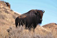 Buffalo at Theodore Roosevelt National Park, North Dakota