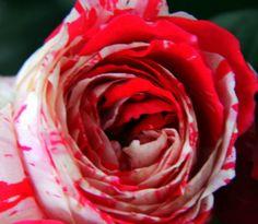 Blushing rose by Deepak Amembal on 500px