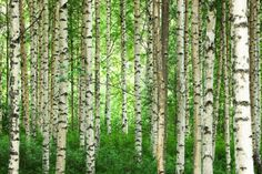 Clear Birch Forest - Fototapeter & Tapeter - Photowall. Guest room