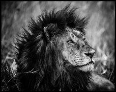 Dreamy lion - Laurent Baheux - http://www.yellowkorner.com/photos/1466/dreamy-lion.aspx